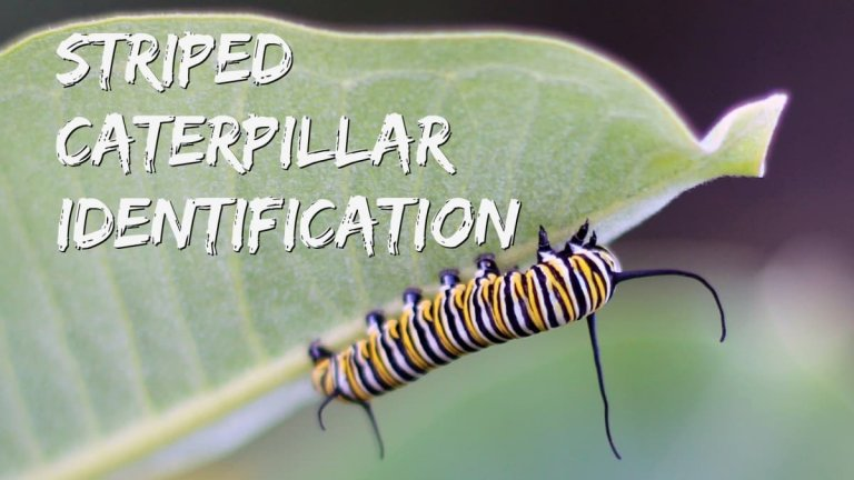 Types of Striped Caterpillars
