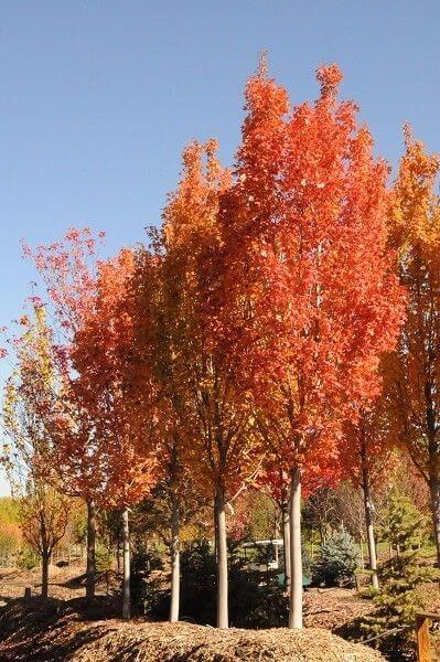 Walter's Columnar – Red Maple