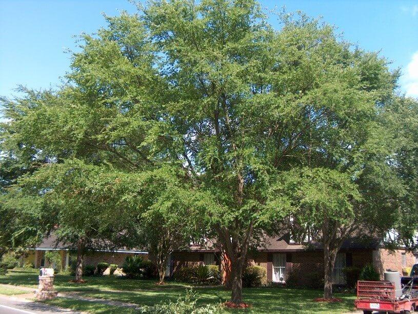 Winged Elm Tree (Ulmus Alata)