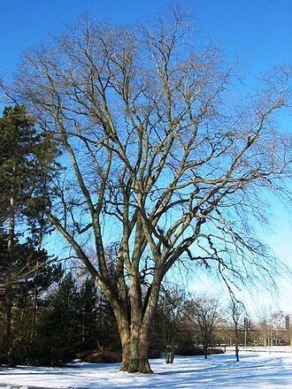 Wych Elm (Ulmus Glabra)